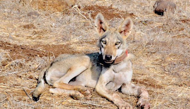 A Golan wolf with a radio collar.
