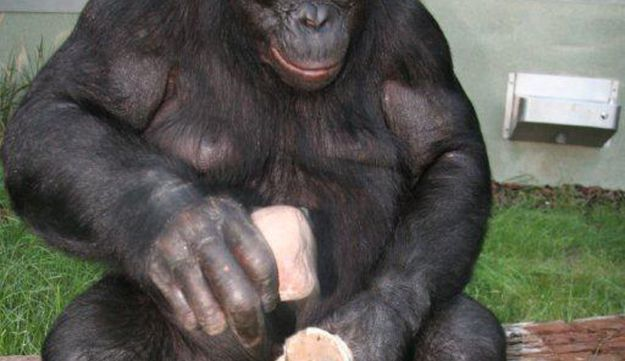 A bonobo shows how stone tools are made.