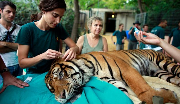 Sick Tiger Cub Rescued From Circus Makes Incredible Recovery - The ...