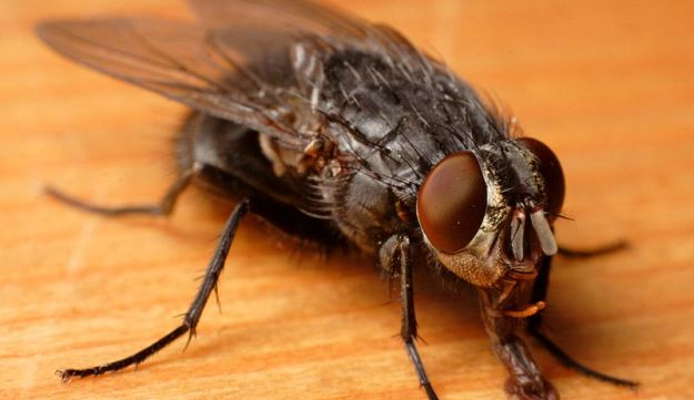 Blow-fly (Aleph, Wikimedia Commons)