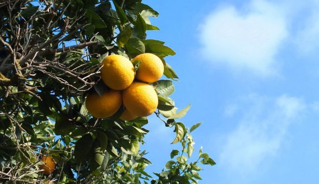 The herbicide is used to grow oranges.