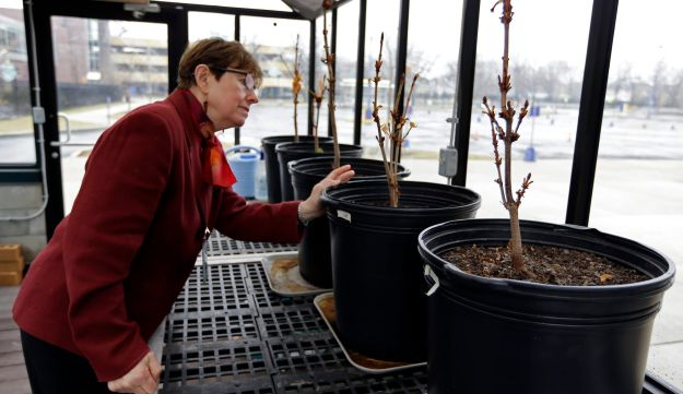 Mary Fortney of the Indianapolis Children's Museum, looks over chestnut saplings