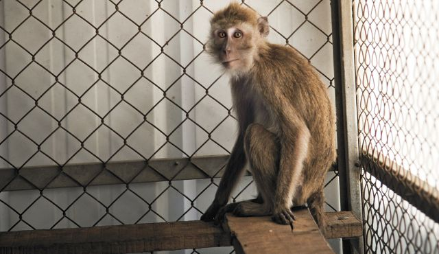 Save The Monkeys Life On Farm After Experiments