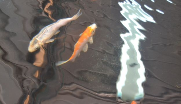 Koi thriving at the experimental dryland fish-farming facility in the Negev.