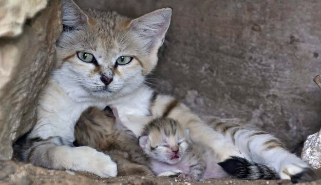 Rotem the sand cat with her new kittens.