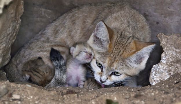 Rotem the sand cat with her three new kittens.