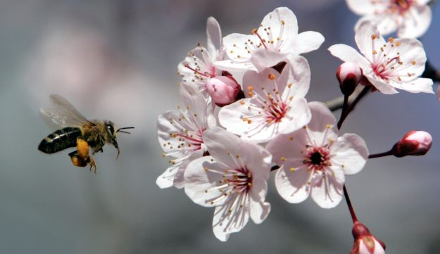 This bee wants to eat plum flower pollen