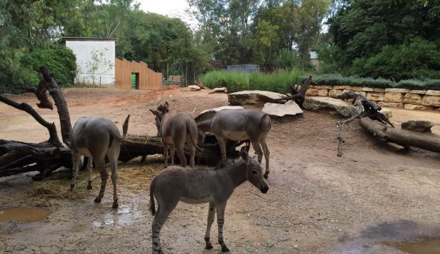 The African wild ass herd at the Ramat Gan Safari Park - with the addition of little Adam.