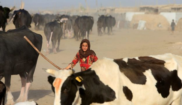 An Iraqi girl herds water buffaloes at the Euphrates river in Najaf, August 1, 2017. REUTERS/Alaa Al-Marjani