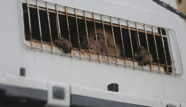 A monkey looks out of a crate on a truck as it waits to leave Gaza after it was evacuated by Four Paws International, at Erez Crossing between Israel and northern Gaza Strip August 24, 2016.