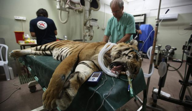 "A tiger which was evacuated from a zoo in Khan Yunis is treated by members of the international non-government ""Four Paws"" organization and Israeli vets, near Tel Aviv, on August 24, 2016."