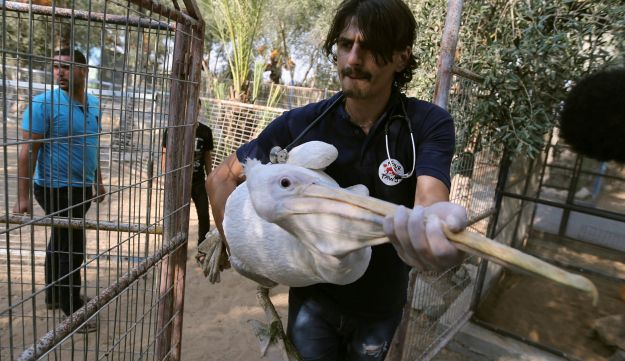 A member of Four Paws International team carries a pelican to be taken out of Gaza, at a zoo in Khan Younis in the southern Gaza Strip August 23, 2016.