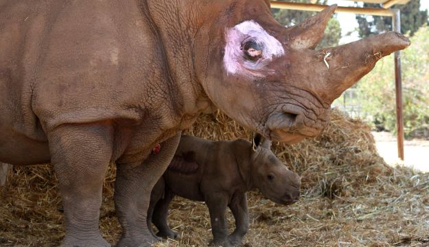 A newborn male white rhinoceros of seven days is seen with his twenty-one-year old-mother, Tanda (L), at the Ramat Gan Safari zoo near the Israeli coastal city of Tel Aviv.