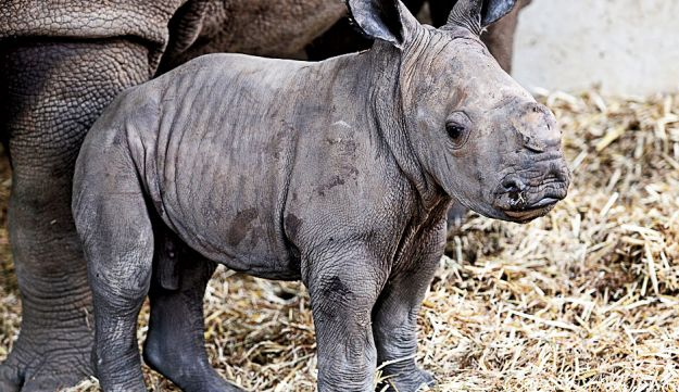 The Ramat Gan Safari welcomes its newest resident: a baby male white rhinoceros called Tupak.