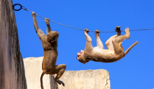 Rhesus macaque monkeys at play on a wire near Galta Temple in Jaipur, Rajasthan.