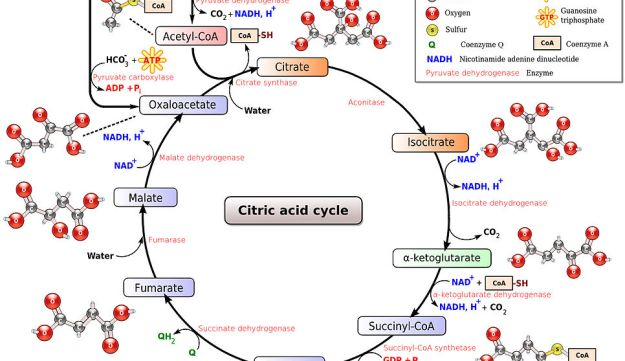 Diagram of Krebs Cycle.