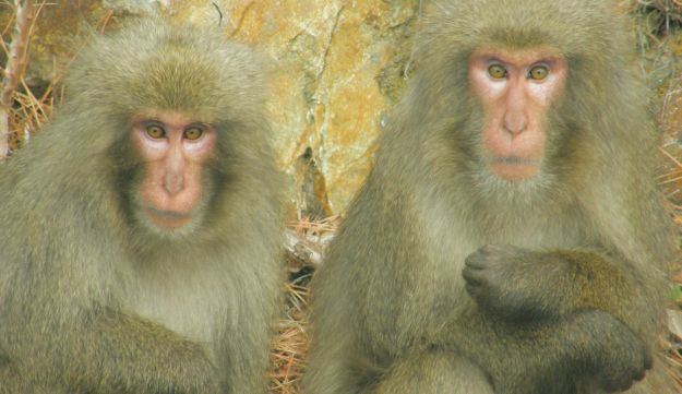 Japanese macaques, like almost all monkeys and apes, are diurnal. Picture shows two macaques with gray fur, orange eyes and pink faces, looking straight at the camera.