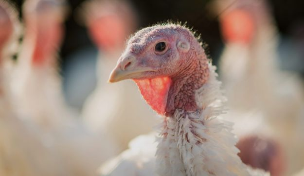 Turkeys standing in a pen at the DiPaola Turkey farm in Hamilton, New Jersey, United States.