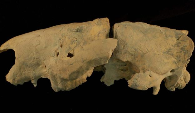 Skull of the marsupial lion species newly discovered  in Queensland: Wakaleo schouteni