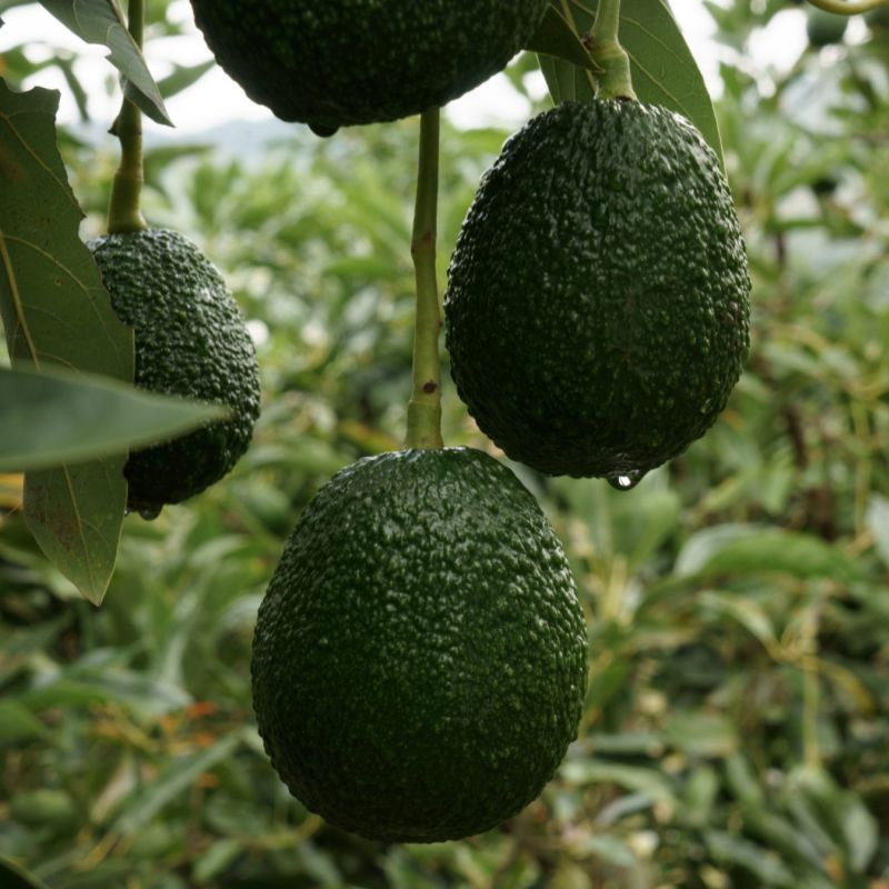 Avocados may not be as healthy as you thought - Science
