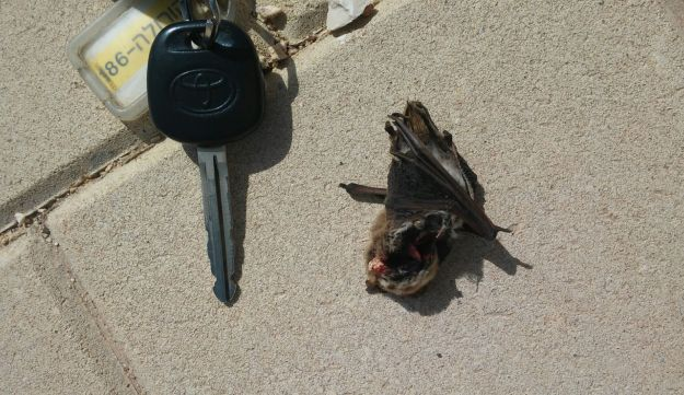 Bats killed by wind turbines include tiny insectivores.