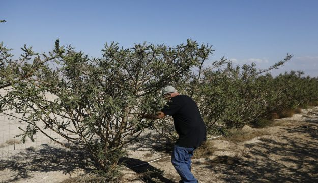 Guy Erlich, an Israeli entrepreneur, checks a frankincense plant at a plantation in Kibbutz Almog, Judean desert, in the West Bank, November 30, 2017.