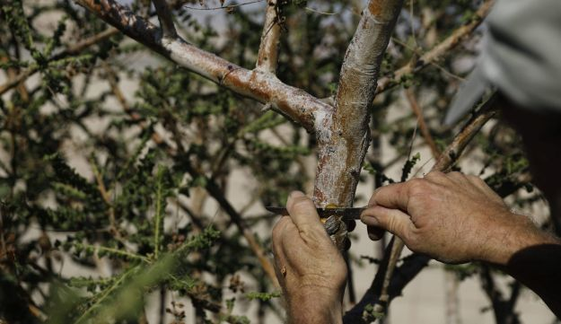 Guy Erlich, an Israeli entrepreneur, checks a Balsam of Gilead plant at a plantation in Kibbutz Almog, Judean desert, in the West Bank, November 30, 2017