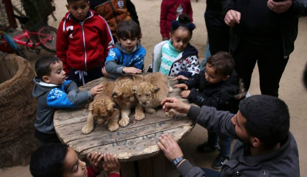 Palestinians play with two-month-old lion cubs at the zoo in Rafah, Gaza Strip, December 22, 2017.