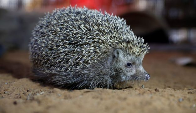Sherman, the overweight hedgehog, sits in his cage at the Ramat Gan Safari Zoo, near Tel Aviv, Israel January 3, 2018.