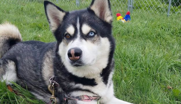 This husky is an example of mosaicism