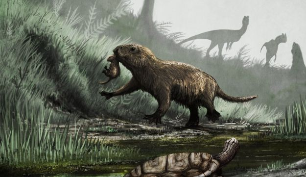 Illustration of an early mammal with a baby in its mouth, venturing out into the daylight - where dinosaurs lurk. The artist envisioned an early turtle also looking warily a the dinosaurs. This explains why early mammals developed a nocturnal lifestyle.