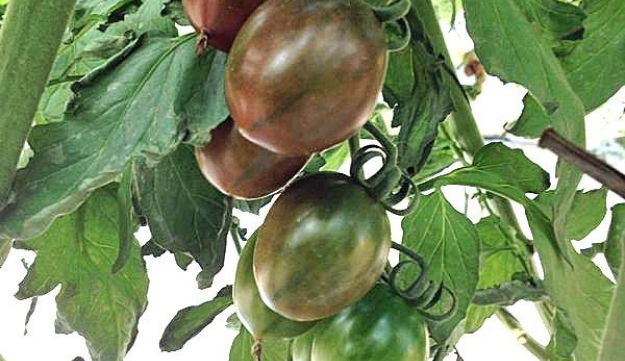 Lycophene-rich dark tomatoes, that can even reach black, developed in Israel.