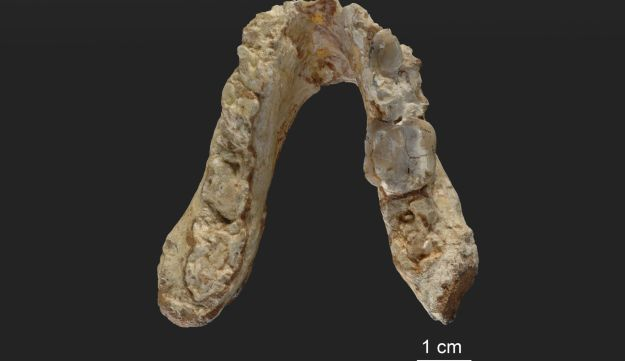 Lower jaw of the 7.175 million-year-old Graecopithecus freybergi from Pyrgos Vasilissis, Greece (today in metropolitan Athens).