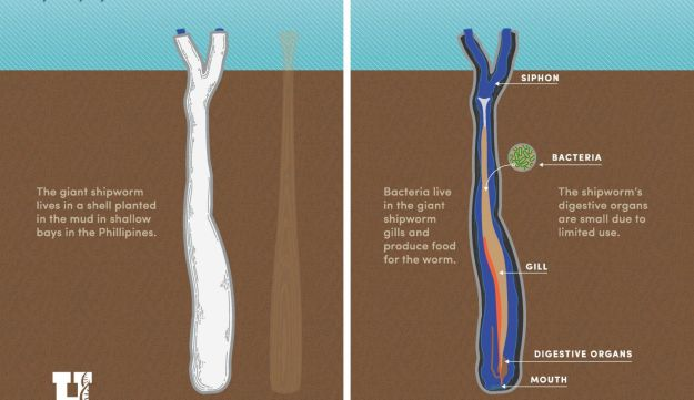 The giant shipworm Kuphus, which depends on symbiont H2S-eating bacteria