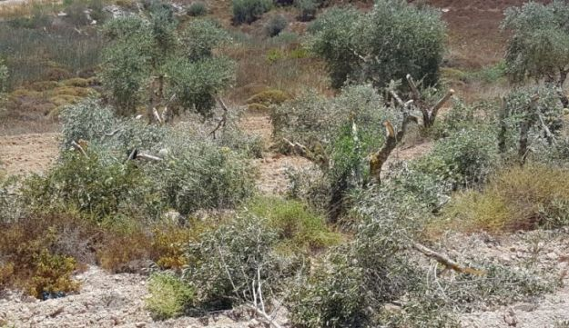 Destroyed olive treas near Burin, the West Bank, June 25, 2017. The photo shows several olive trees whose branches have been hacked off.