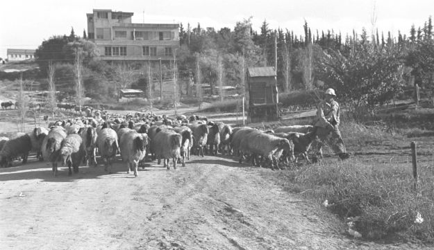 A black and white photograph showing what Kibbutz Givat Brenner, and sheep, looked like in 1949, not that long after Jessie Sampter moved there.