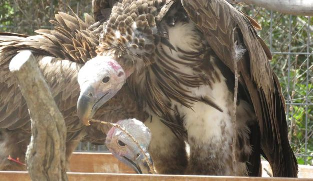 The extremely rare and extremely large Negev variant of the Nubian vulture, in captivity at the Hai Bar animal rescue facility in Israel. Here we see two specimens in fine nick.