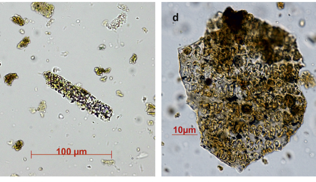 Control sample and wheat sample, phytoliths from Raqefet.