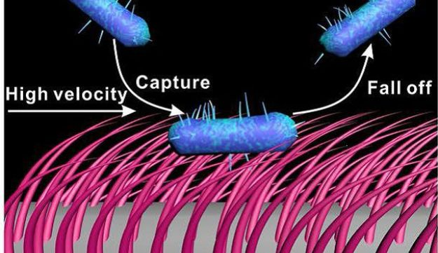 Bacteria loaded onto a bending surface of soft nanowires will simply fall off.