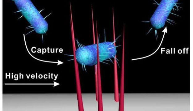 Adsorbed bacteria can dynamically desorb from stiff nanowires.