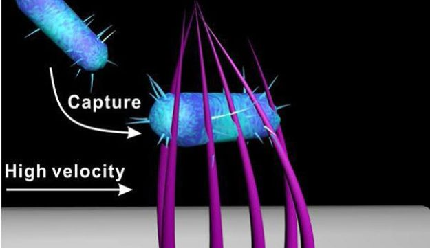 Gotcha! 3-D nanoclaws generated by bendable nanowires catch the bacteria.