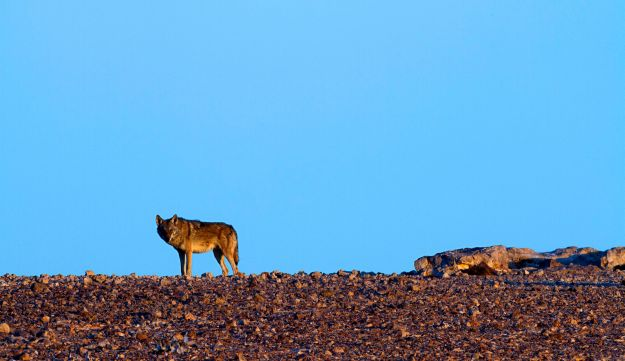 Israel is offering farmers over $500 for every wolf they kill to try and stop them from killing livestock