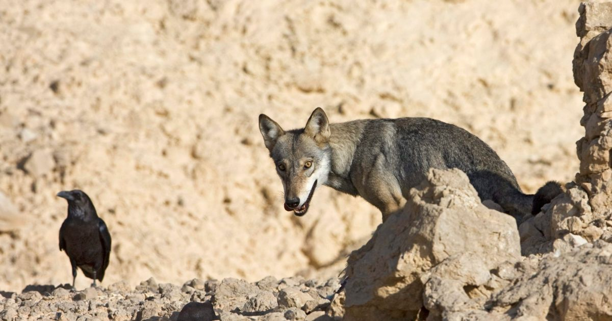 Israel is offering $500 for every wild wolf you can kill