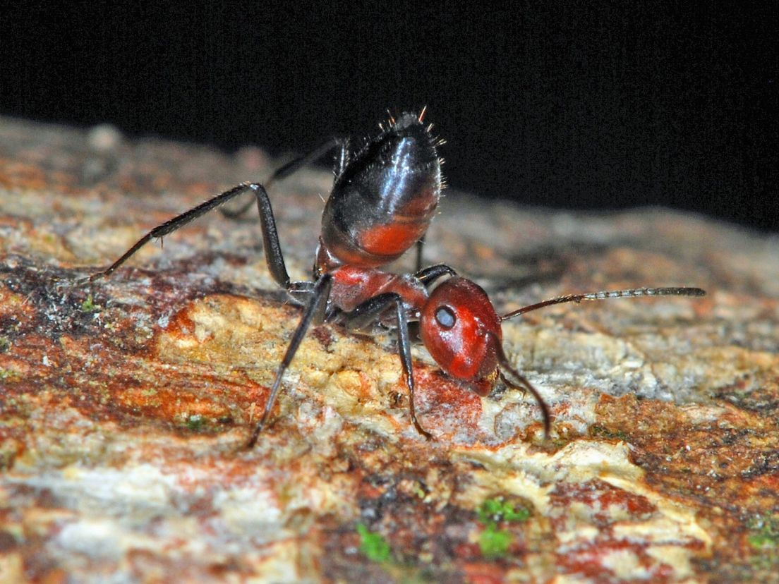 New species of 'exploding ants' found in Southeast Asia