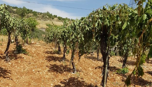 The vineyard in the southern West Bank near Hebron that was found damaged on May 16, 2018.