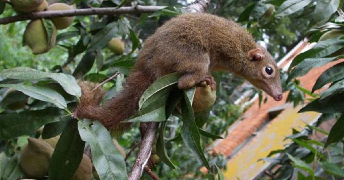 Science figures out why the tree shrew eats red-hot peppers
