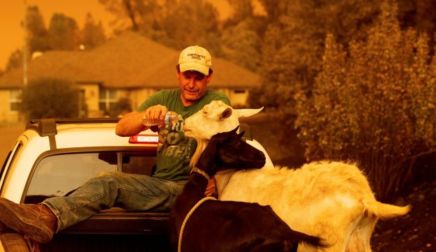 Mark Peterson, whose home burned down, tends to his surviving goats during the Carr fire near Redding, California, July 27, 2018.