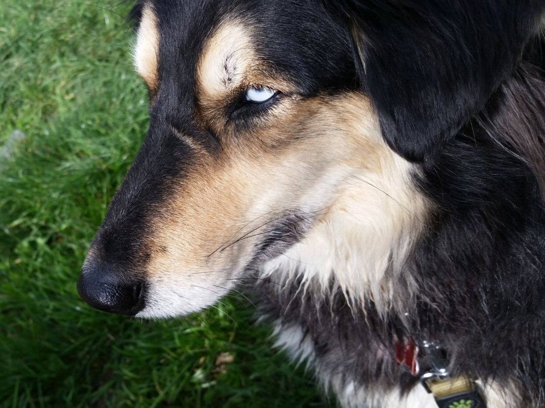 why huskies have blue eyes and why israel is thronged with blue eyed