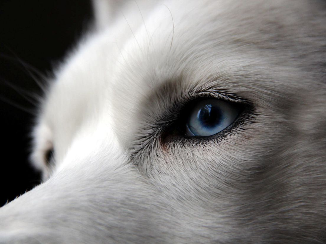 Why huskies have blue eyes and why Israel is thronged with