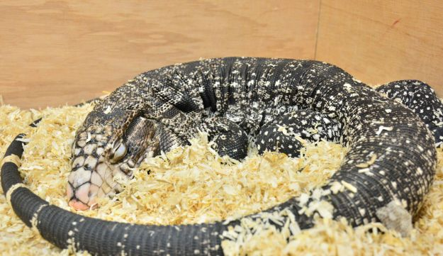 In addition to replicating the 2016 bearded dragon experiment, researchers conducted a new investigation using another species of lizard, the Argentine tegu (Salvator merianae).